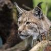 Már mozikban a Vad erdő, vad bércek című díjnyertes természetfilm