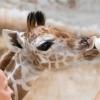 Zsiráf született a Nyíregyházi Állatparkban! Képek itt!