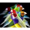 Díszmadár fesztivál és madárszépségverseny Velencén!