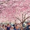 Cseresznyefa virágzás - Sakura ünnep 2019-ben Budapesten a Füvészkertben!